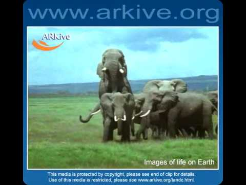 African Elephant - Fauna Clips