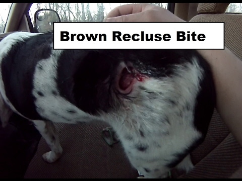 Brown Recluse Bite on my Dog