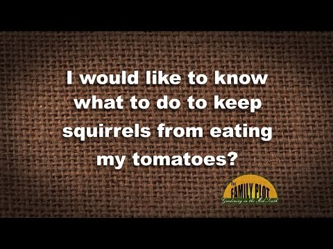 Q&A - How do I keep squirrels from eating my tomatoes?