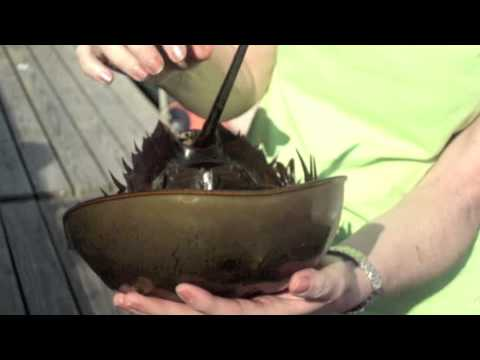 What's in a Horseshoe Crab?