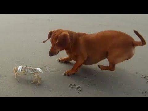 Dachshund vs Crab Part Two - They Meet Again