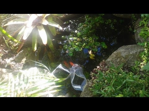 Aquaponic water temprature & goldfish update with a happy ending..