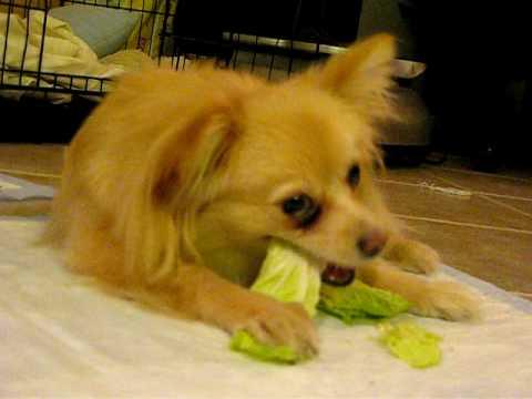DOG  eats vegetable