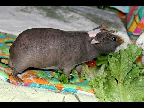 Pet Profile: Little Foot (Male Skinny Pig)