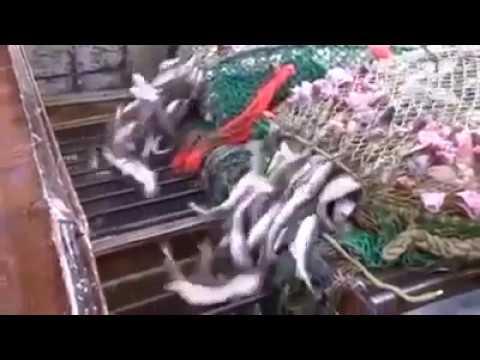 দেখুন স্বয়ংক্রিয়ভাবে যেভাবে মেশিনের সাহায্য মাছ ধরা হচ্ছে এবং তা প্রসেসিং করা