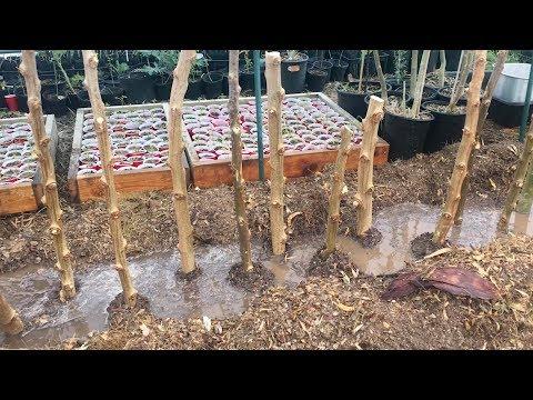 Ep155 - Planting 29 Moringa Cuttings