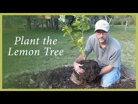 Planting the Lemon Tree Propagated by a Cutting