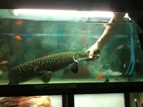 Fun with My Alligator Gar