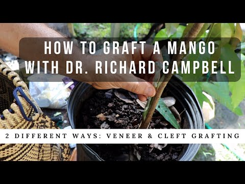 How to Graft a Mango Tree w/ Dr. Richard Campbell