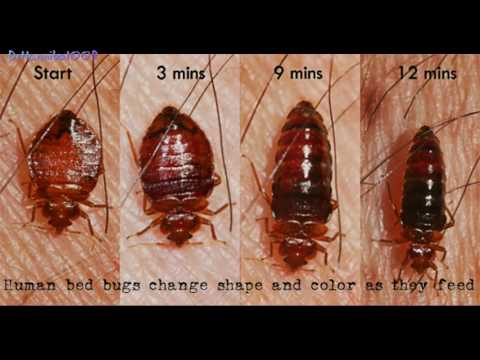 Bed bugs How To Find Bed Bugs