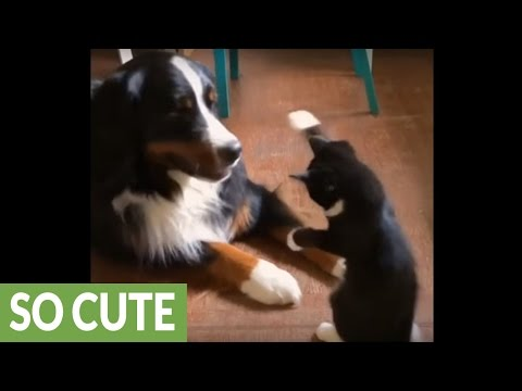 Cat uses cute marshmallow paws to battle dog