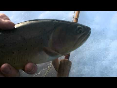 Zac Sexton, the Meandering Booboy, hooks and releases a native Yellowstone Cuttie