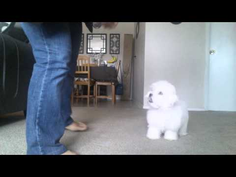 Teaching 4 months old Maltese to roll over.