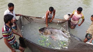 Mixed Carp Fish seeds Farm | Silver carp & rui fish catching from pond