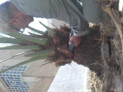 Cutting base of palm tree leaf