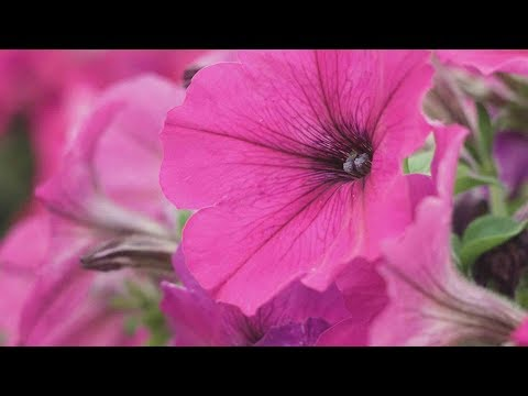 Add Some Color to Your Garden Using Petunias