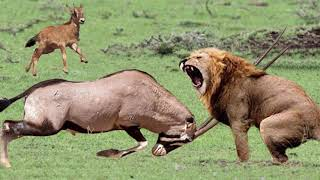 Powerful of Horrible Horns Causing The Lions To Panic - Mother Gemsbok Save Her Baby From Cheetah