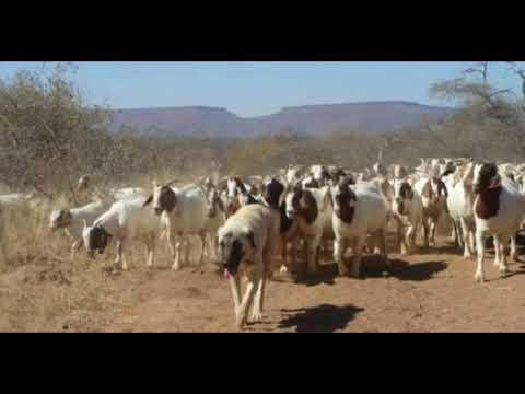 Famous Goats and Sheep Markets / Bakra mandi / Konsi mandi kahan aor kis din lagti hay