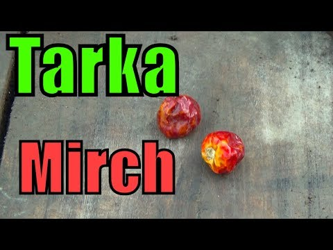 760#how to Grow Tarka Mirch From Seeds | Good Germination Rate | Do It Your Self