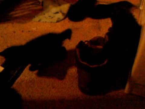 kittens fight for the boot