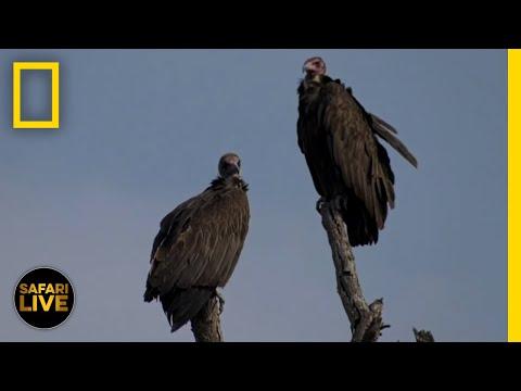 Safari Live - Day 129 | National Geographic