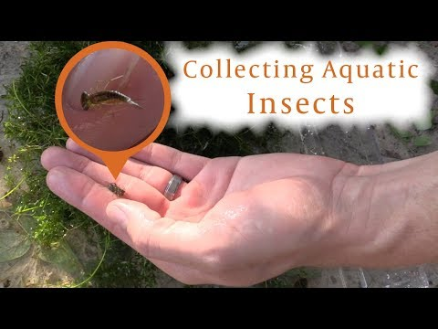 How to Collect Pond Insects
