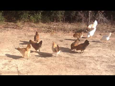 Chickens on the homestead.. Free range,,, 25 degrees (F)