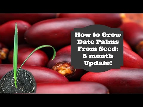 How to Grow Dates from Seed: 5 Month Update!