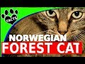 Cats 101: Norwegian Forest Cats - 10  Facts Norsk Skogkatt - Animal Facts