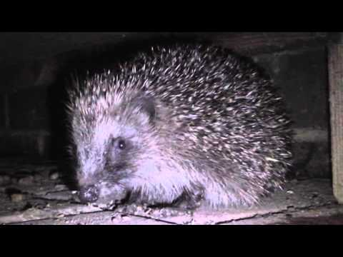 How To Attract Hedgehogs To Your Garden