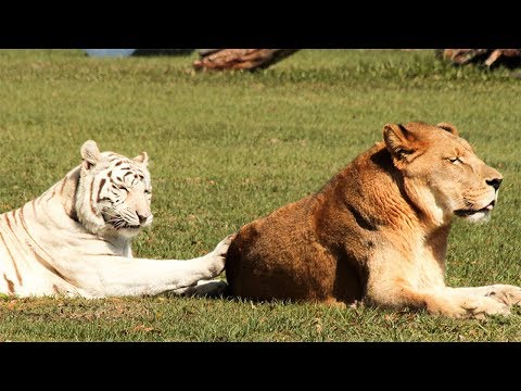 White Tiger And Lion In 360!!