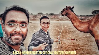 Download camel-mandi-camel-for-qurbani-eid-2018-bought-by