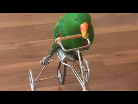 Parrot Rides Bicycle