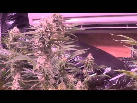 Strain by strain update - Day 38 flower - Plushberry, Sour Bubble, & more.