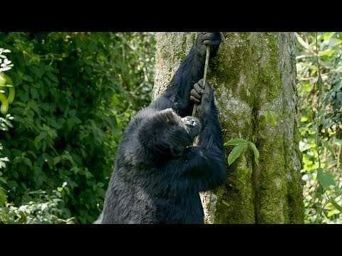 Silverback gorilla climbing fail | Gorilla Family and Me- BBC Earth