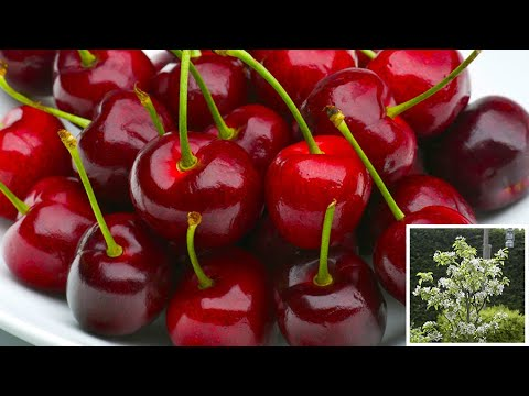 How to plant Cherry trees: Jeff grows cherries in this fruit tree planting guide