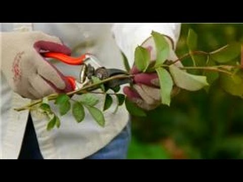 Care for Knockout Roses : How Do I Start a Rose Plant?