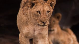 Lions comeback to the harsh Namib Desert: outrageous growth rate! | BBC Earth