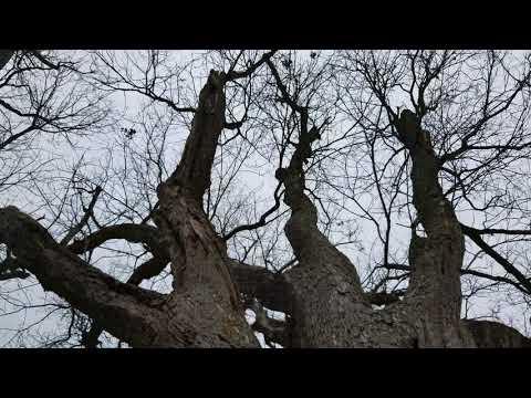 The Devils tree new Jersey 4K
