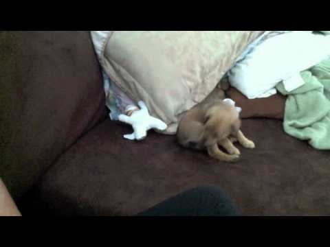 Puppy biting his own tail