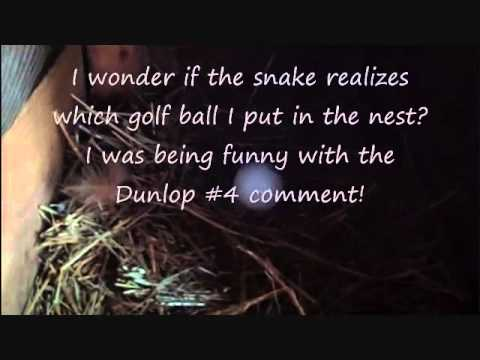 Chickens, Golf Balls, and Snakes!