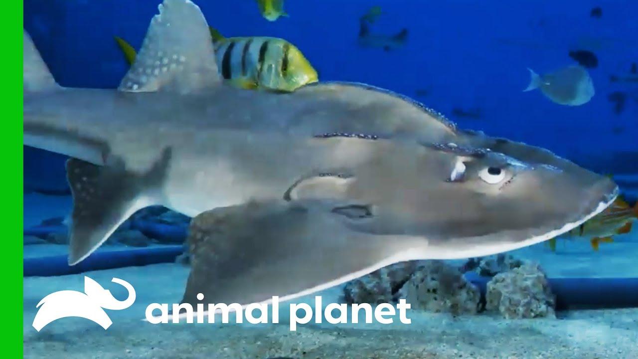 Big Mama The Bowmouth Guitarfish Might Be Pregnant!   The Aquarium