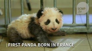 Meet Yuan Meng, the first panda born in France