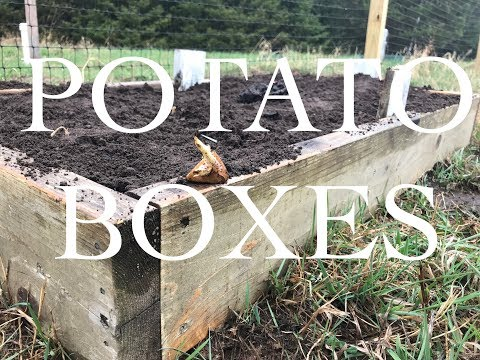 Planting Potatoes in a Potato Box