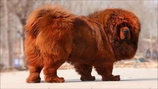 Most Biggest Dogs breeds in the world ◆दुनियां के 10 सबसे बडे कुत्ते◆top breed dog ,danger Dog ::::;