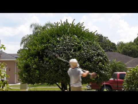 Trimming of a ligustrum tree in the classic mushroom shape
