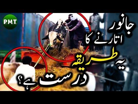 Beautiful Bulls & Cows Unloading from Truck in Cow Mandi Karachi (Livestock Market) Eid ul Adha HD