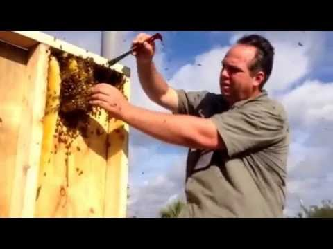 Swarm of Bees Removed from a Wall