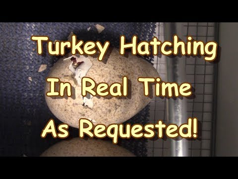 Turkey Hatching in Real Time! As Requested!