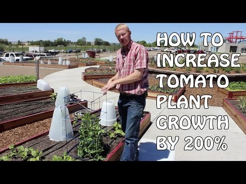 How To Increase Tomato Plant Growth By 200%